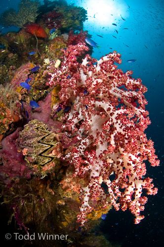 soft coral on a truk lagoon shipwreck