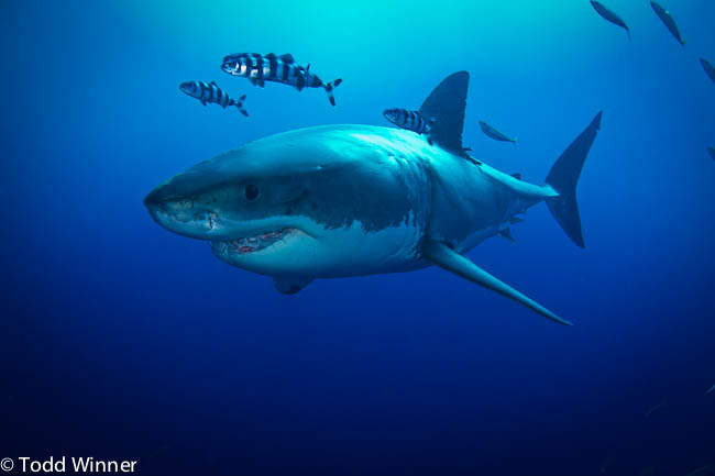 Great White Sharks at Guadalupe Island - Underwater Photography Guide