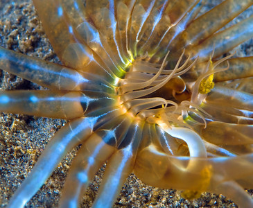 southern california marine life underwater photography guide tube anemone photo