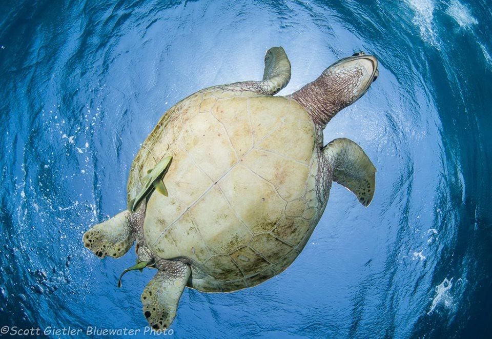 Turtle Apo Island Philippines