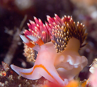 hilton's aeolid nudibranch, nikon 105mm lens