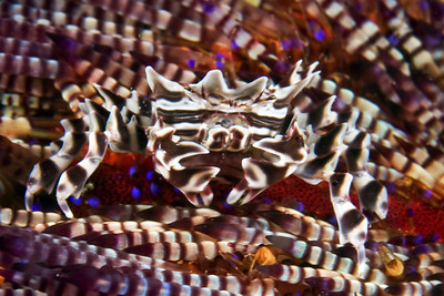 crab in lembeh