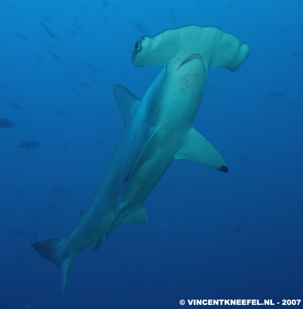 hammerhead shark, cocos island, underwater photo by Vincent Kneefel