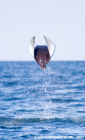 leaping mobula ray, la paz sea of cortez