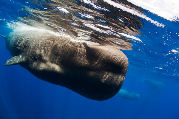 sperm whale while diving underwater in the azores islands
