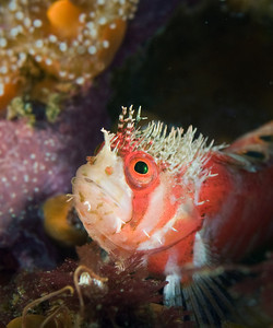 mosshead warbonnet fish