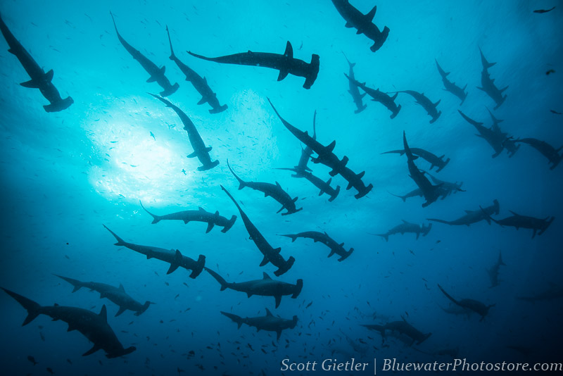 galapagos underwater photo essay report bluewater dive travel galapagos underwater photo essay report
