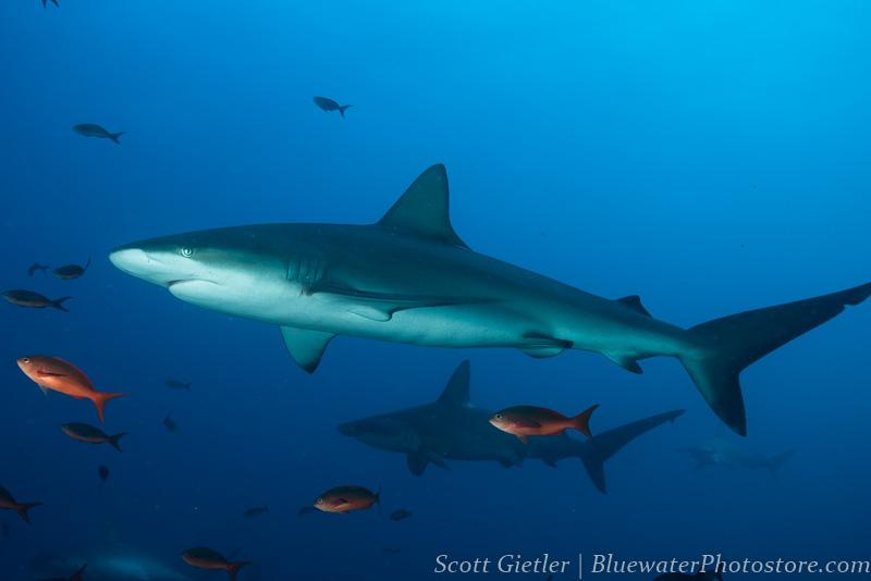 Galapagos - Schooling Sharks