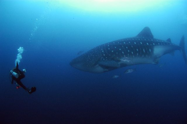 whale shark underwater in the galapagos islands