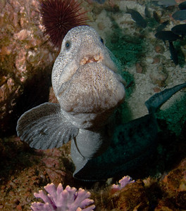 Wolf eel underwater photo