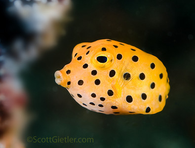 yellow boxfish, bali