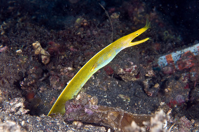 female ribbon eel, lembeh