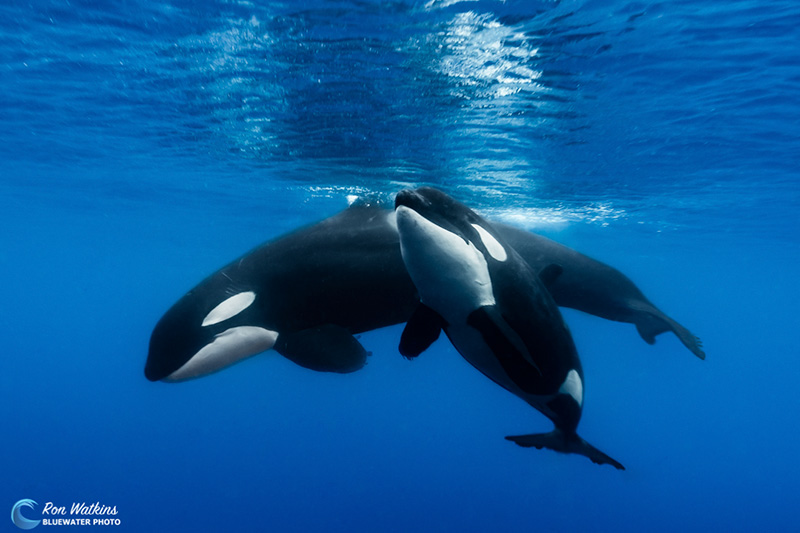 Orca whale underwater with calf
