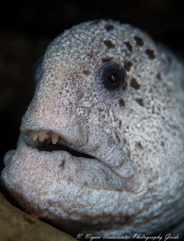Wolf Eels A Face Only A Mother Could Love Underwater Photography Guide