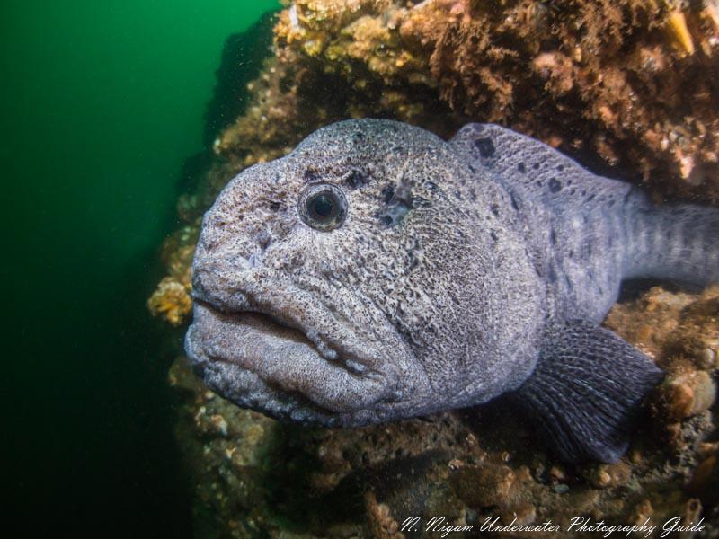 Wolf Eel Underwater