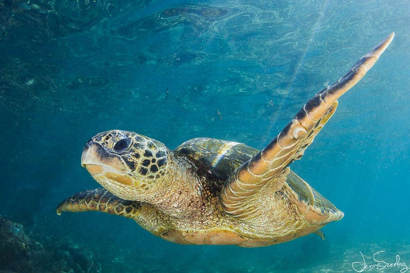 Green Sea Turtles - Underwater Photography Guide