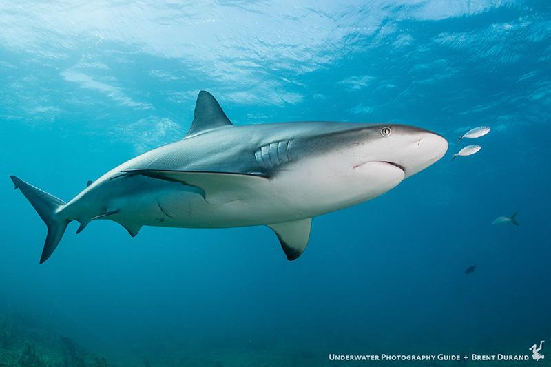 shark diving bahamas
