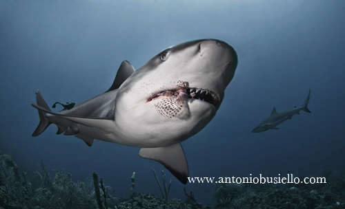 Inside look photos training sharks to eat lionfish for Best white fish to eat
