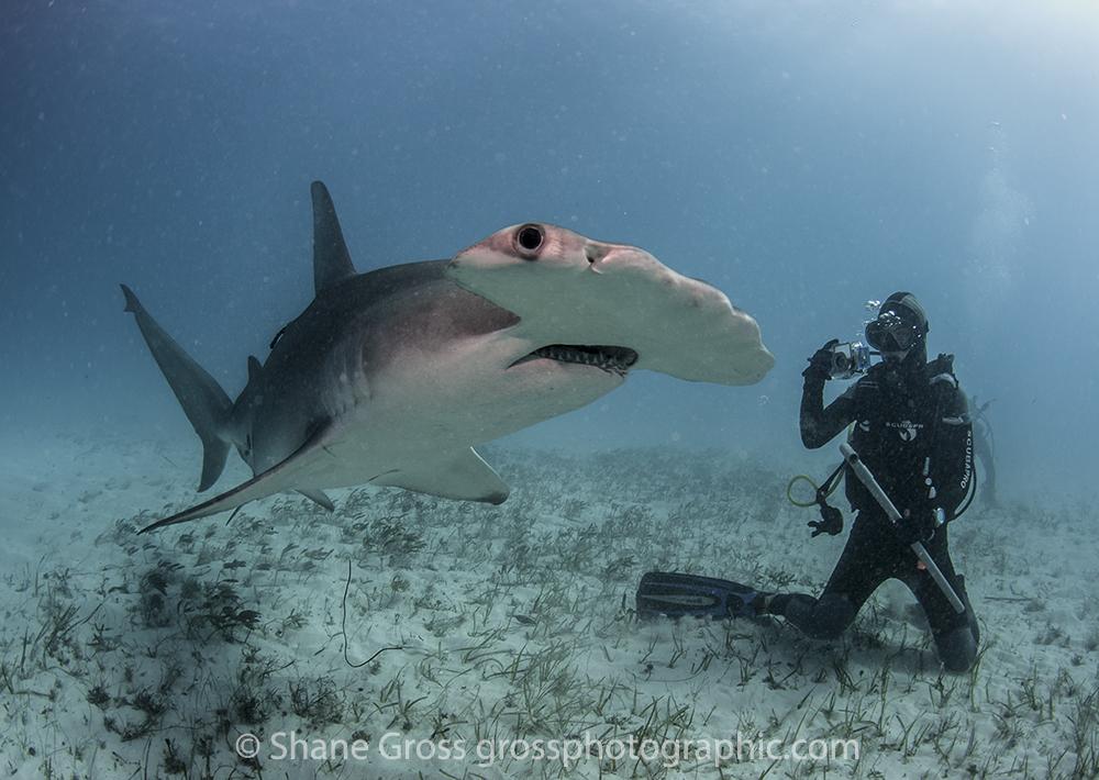 The Hammerheads Of Bimini Underwater Photography Guide
