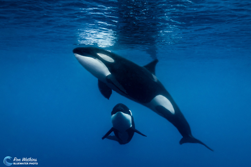 An introduction to the nature and mythology of killer whales