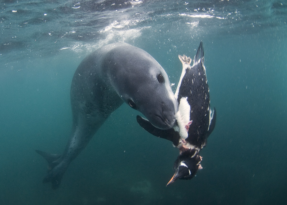 Story Behind the Shot: The Hunting Leopard Seal|Underwater ...