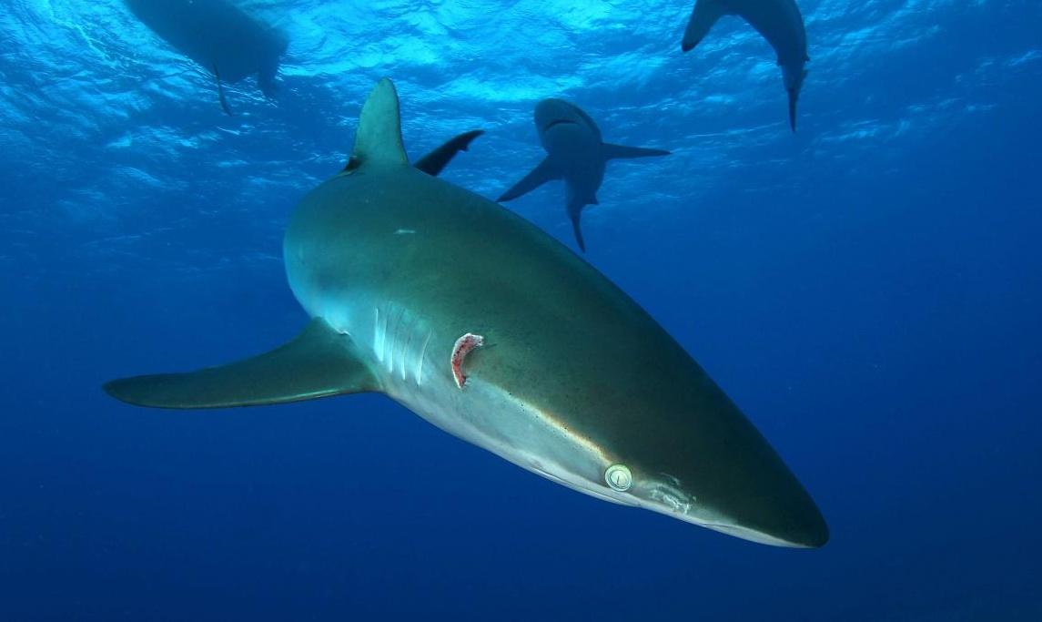 Incredible Shark Diving In Cubas Jardines De La Reina