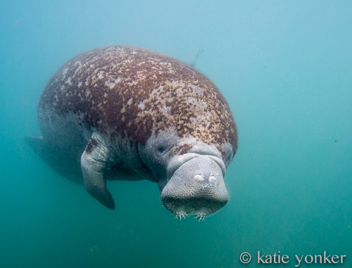 manatee essay Manatees inhabit the shallow, marshy coastal areas and rivers of the caribbean sea and the gulf of mexico (t manatus, west indian manatee), the amazon basin.