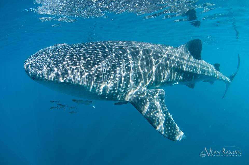 Whale Shark Underwater Photo Amp Video Tips Underwater