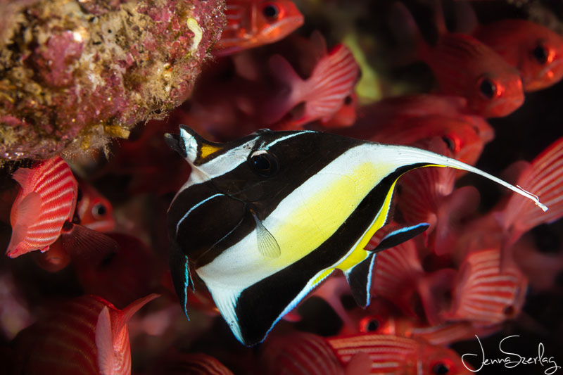 Moorish Idol AFTER the 5 Photoshop steps