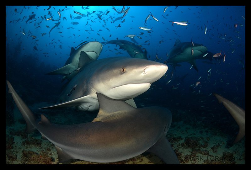 Bull Shark in Beqa Lagoon