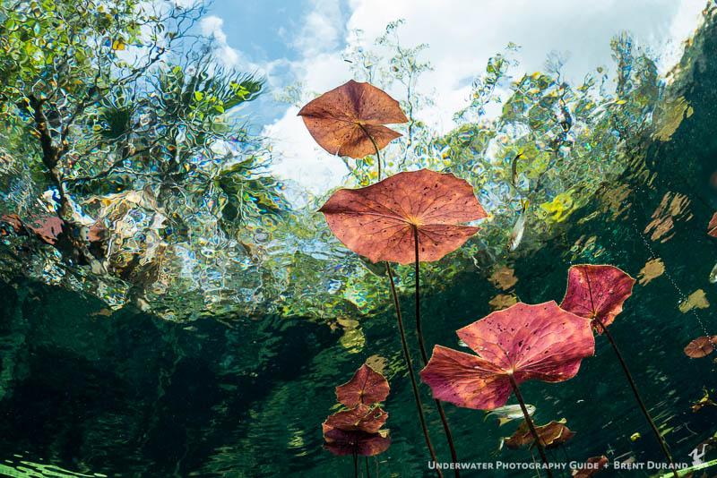 Lillies Cenotes