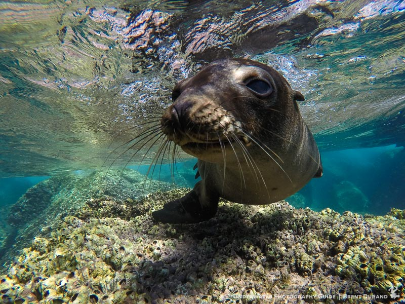 A Sea Lion Admires The GoPro HERO5 Black Shot On With Dual I Torch Venom 38 Video Lights Photo Brent Durand