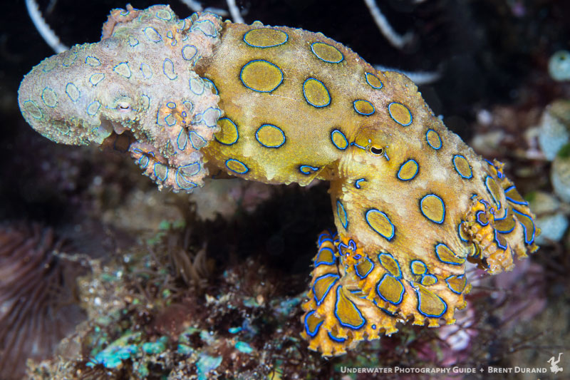 Blue Ringed Octopus Facts and Underwater Photos ...